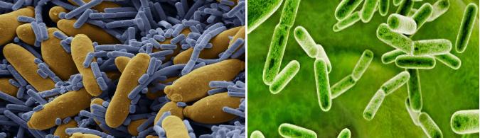 bakterii v vode